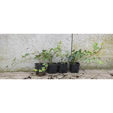 Hedera hibernica plant 30-50
